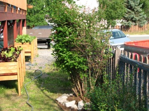 Lilac-Trimmed-Jul 6-13