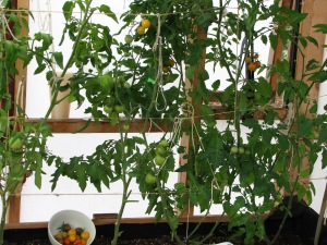 GH Tomatoes - Sept 8-2013