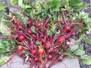 Main Beet Harvest - Aug 27