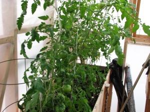 Tomatoes-5-Aug 27